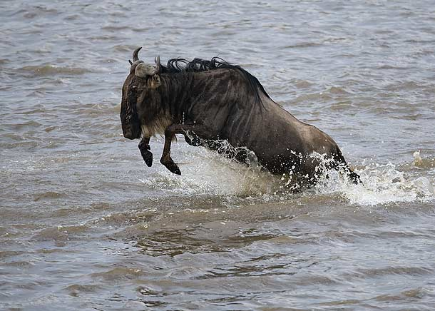 wildebeest-crossing